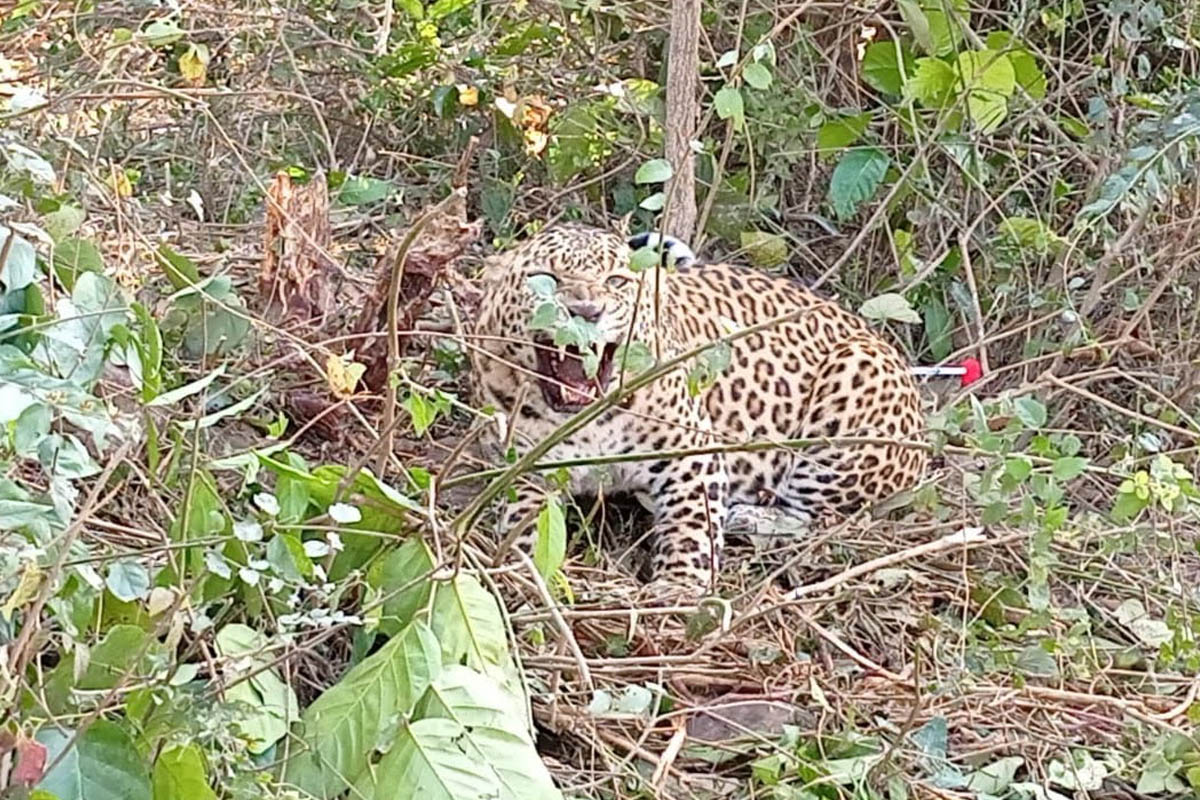 Leopard, wire trap