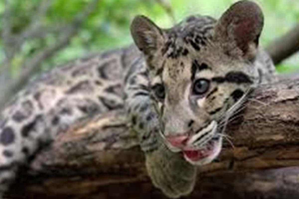 Leopard, Uttar Pradesh