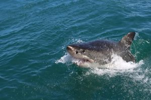 New Zealand woman killed in suspected shark attack