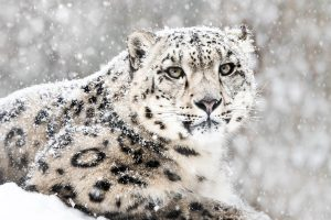 Himachal becomes 1st state to complete assessment of snow leopards & its prey