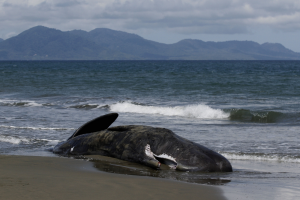 52 short-finned pilot whales found dead on Indonesian beach