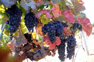 Eating grapes may protect against sunburn, UV damage to skin