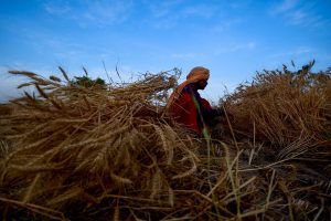 96,855 quintal wheat seeds to be produced in HP in 21-22