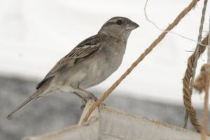 Where have noisy, gregarious house sparrows gone?