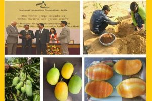 Kota farmer develops mango variety that bears fruits round the year, resistant to most major diseases