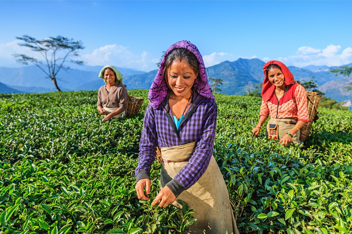 Hill tea gardens, Teesta Barrage Project, Kharip crop, Jalpaiguri