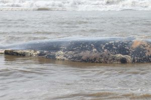 12th dead whale washes up in San Francisco Bay Area