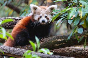 Red panda birth brings cheer in Darjeeling