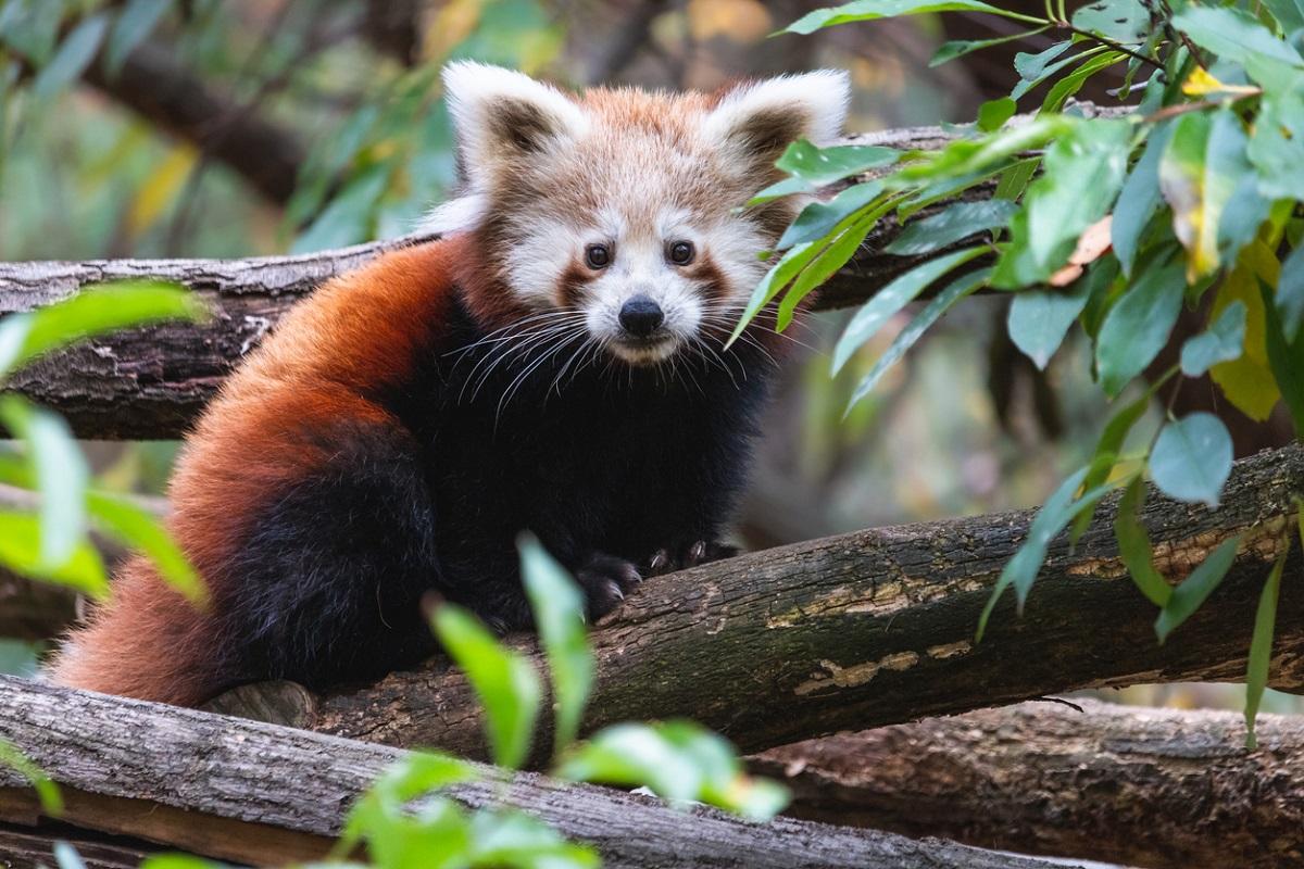 Red panda, Darjeeling, Padmaja Naidu Himalayan Zoological Park, PNHZP