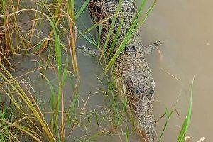 Carcass of albino crocodile retrieved in Odisha