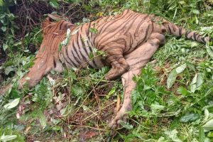 Forest guard suspended for 'unwarranted firing', killing Royal Bengal Tiger in Assam