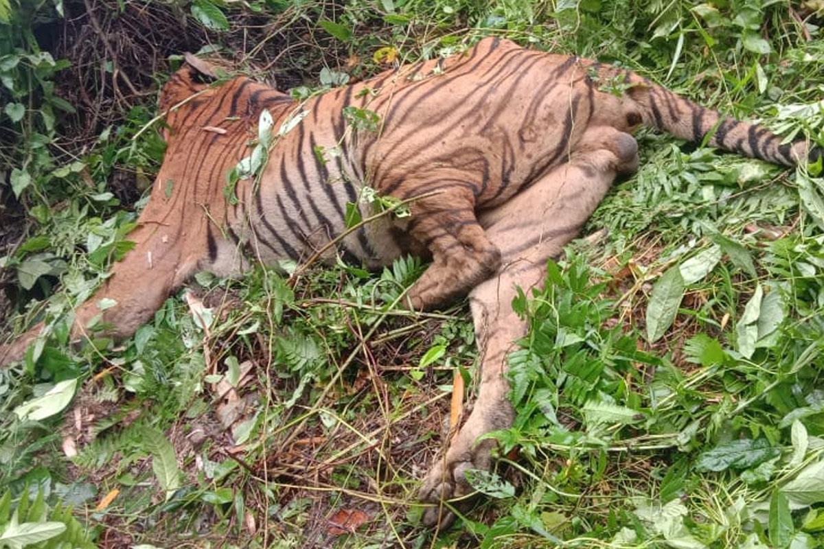Royal Bengal Tiger, Assam, Forest guard, Kaziranga National Park