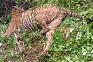 Forest guard suspended for killing a Royal Bengal tiger in Assam
