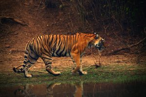India has doubled tiger numbers four years ahead of schedule: PM Modi