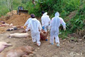 Over 10,600 pigs die of African Swine Fever in Mizoram