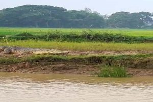 Agriculture operation affected as crocodiles sneak into water-logged croplands in Odisha