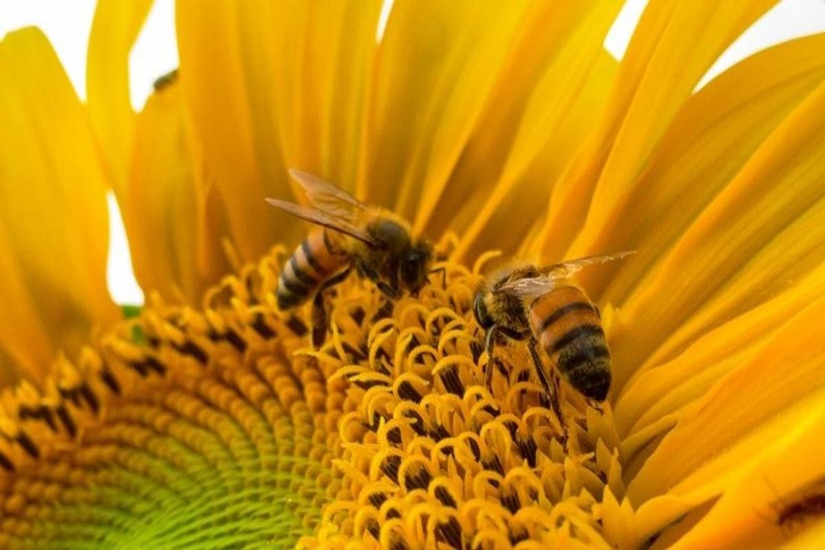 bee pollen, Pollen in diet, healthy diet