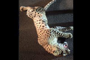 Odisha: Leopard killed in road accident
