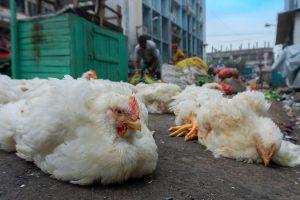 Expensive fuel: Chicken off menus