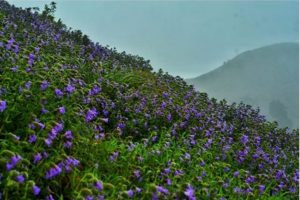 Madikeri hills witness Neelakurinji bloom after 12 years