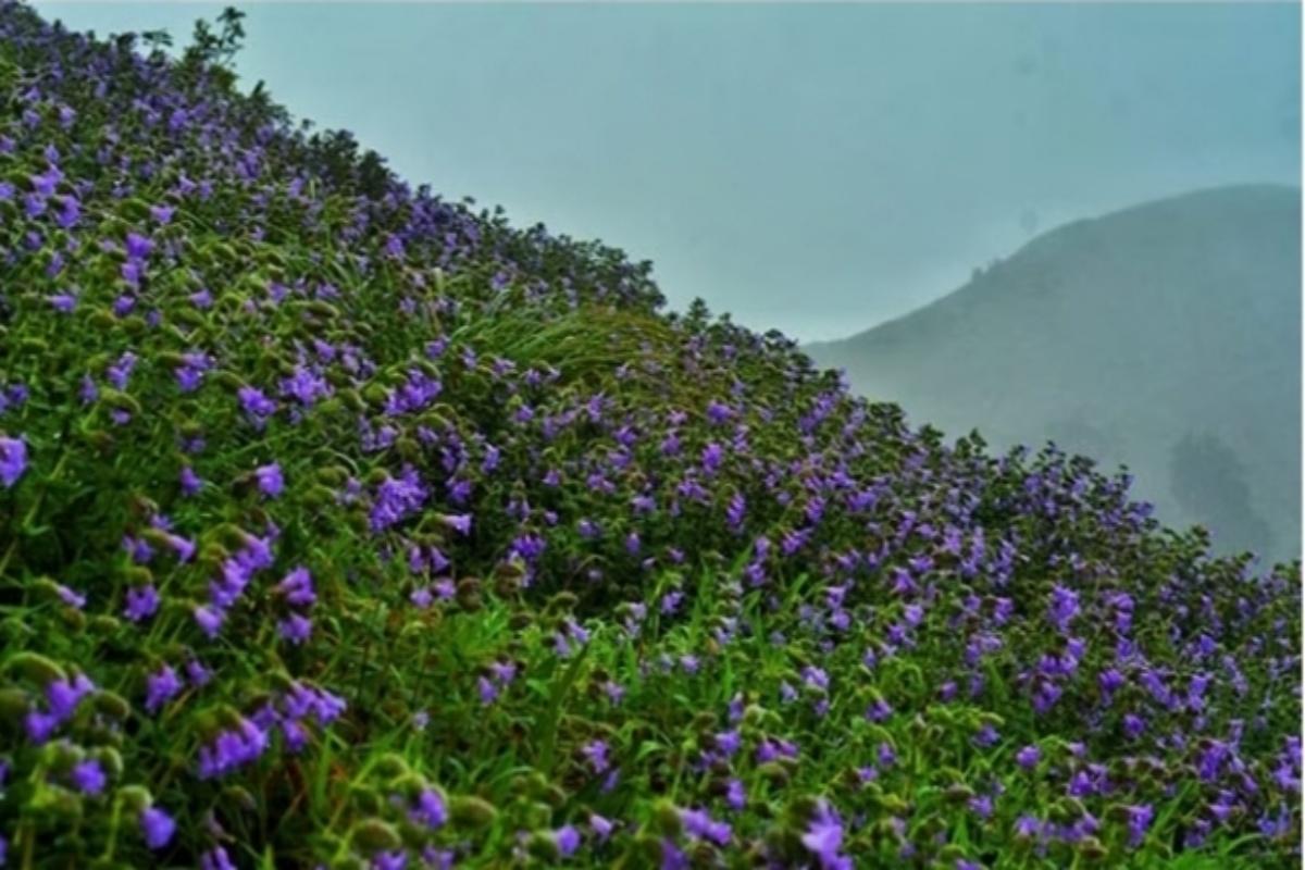 hillock region, flowers, nature, Madikeri hills, Neelakurinji