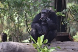 Why humans have shorter stride than chimps?