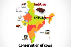 IndiGau: India's first cattle genomic chip launched