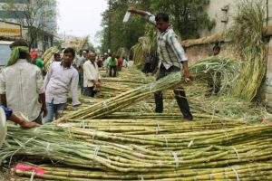 Purvanchal emerging as hub of sugarcane cultivation