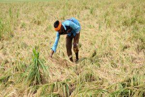 Punjab orders survey for crop loss in heavy rain