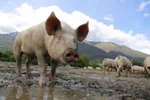 Shut pig farms to prevent Nipah epidemic: PETA to Kerala govt