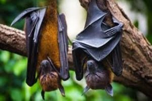 Bat-related coronaviruses more frequent than thought: Study