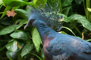 BSF foils smuggling of rare Victoria Crowned Pigeon