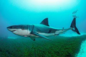 39 Australian shark species face extinction: Report