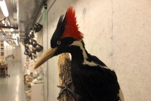 US says ivory-billed woodpecker, 22 other species extinct