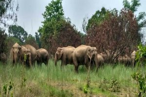 Odisha Govt moves to save elephants from electrocution, provides Rs 445 crore to DISCOMs