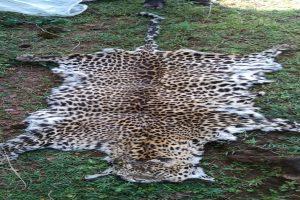 Odisha STF seizes leopard skin, arrests wildlife criminal